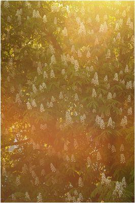 Kastanienblüten und Lichtwellen