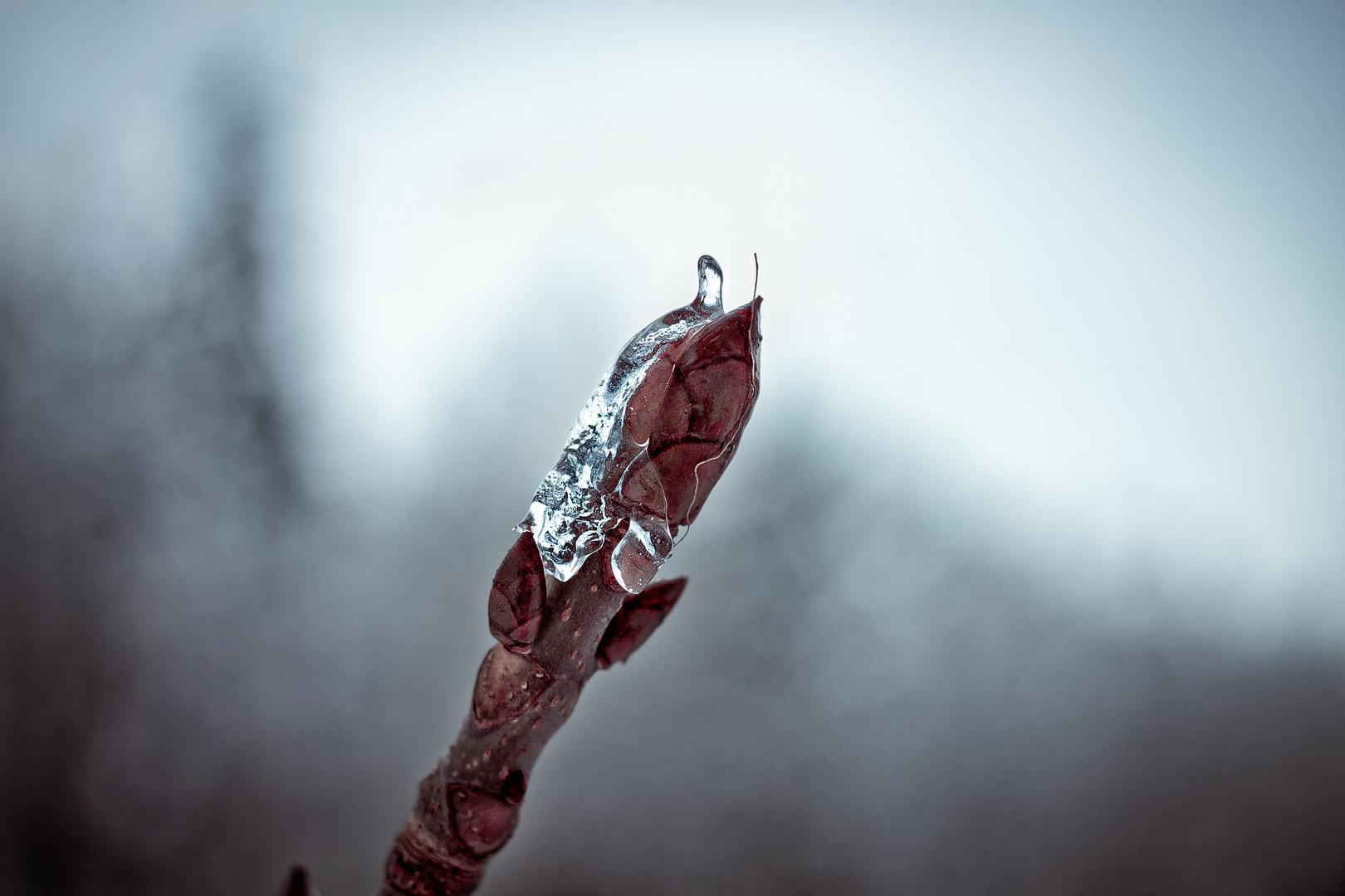 Kastanienknospe im Eismantel