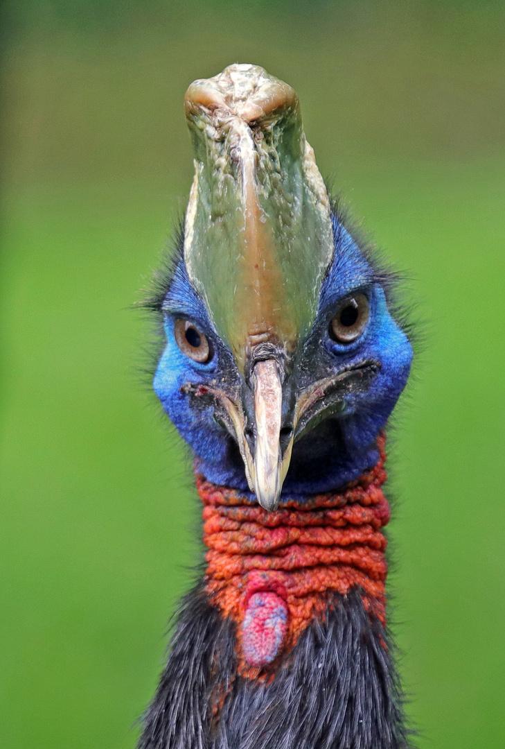 Vogel Kasuar