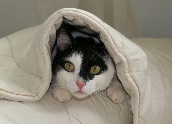 Kater unter Bettdecke