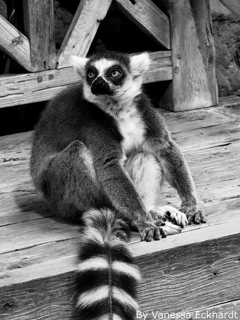 Katta Affe schwarz-weiß