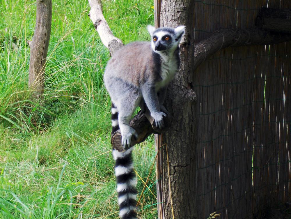 Katta auf einem Baum