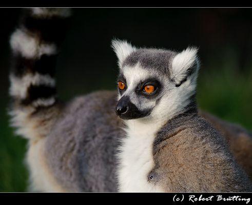 Katta-Augen