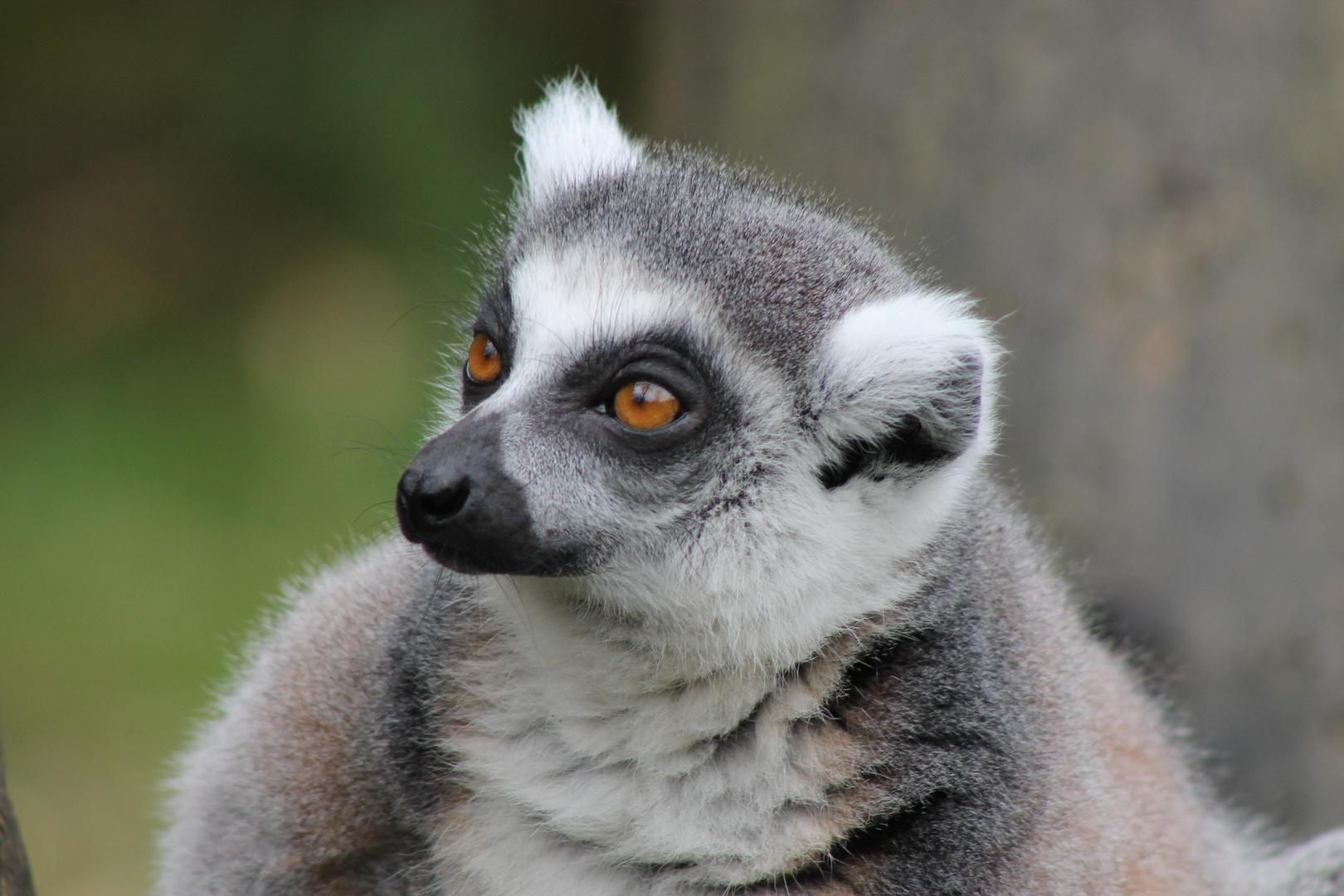 Katta im Duisburger Zoo!