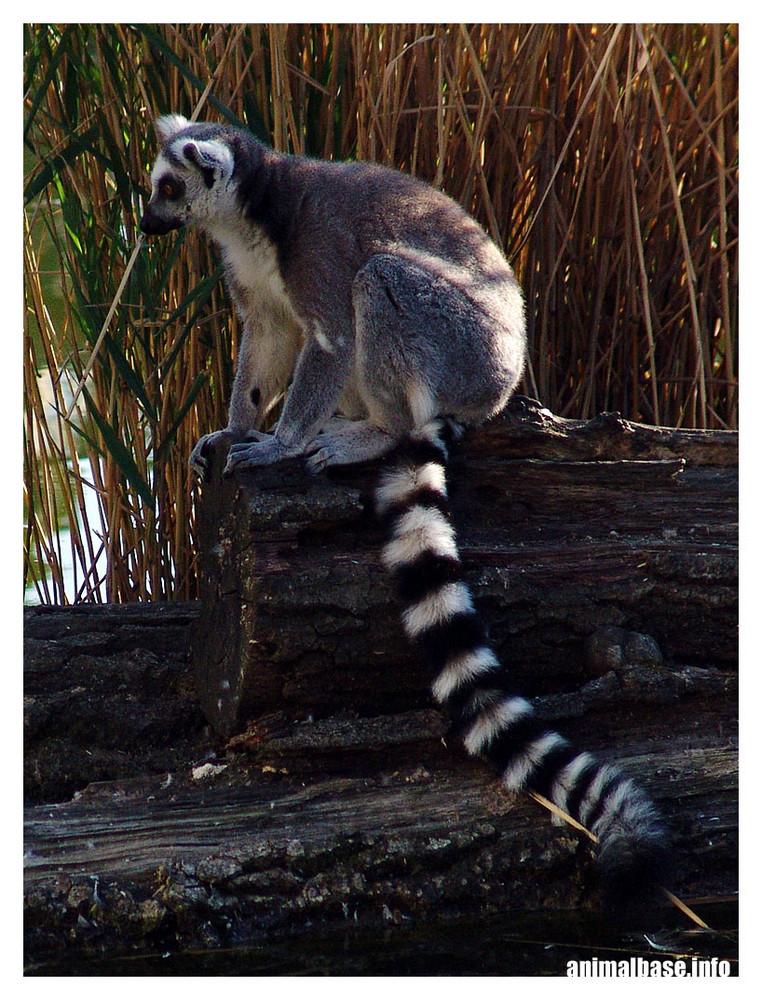 Katta - Lemur catta