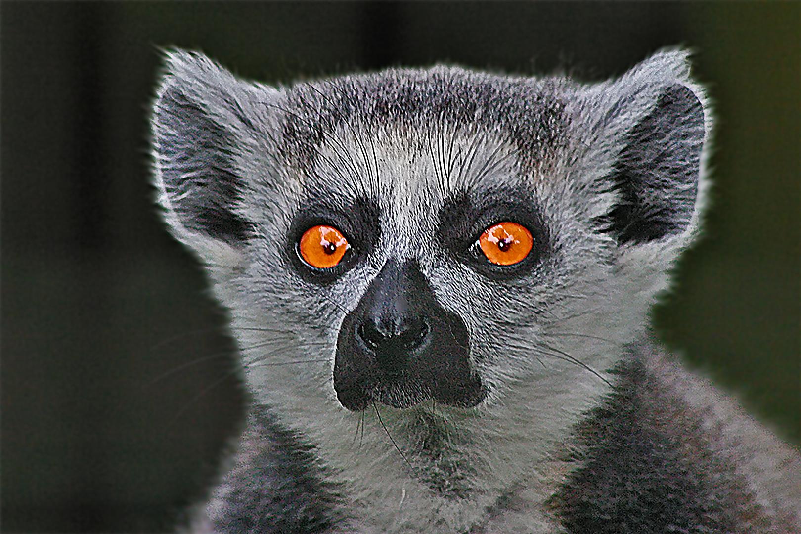 Katta ( Lemuren Porträt )