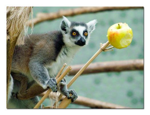 Katta mit einem Apfel