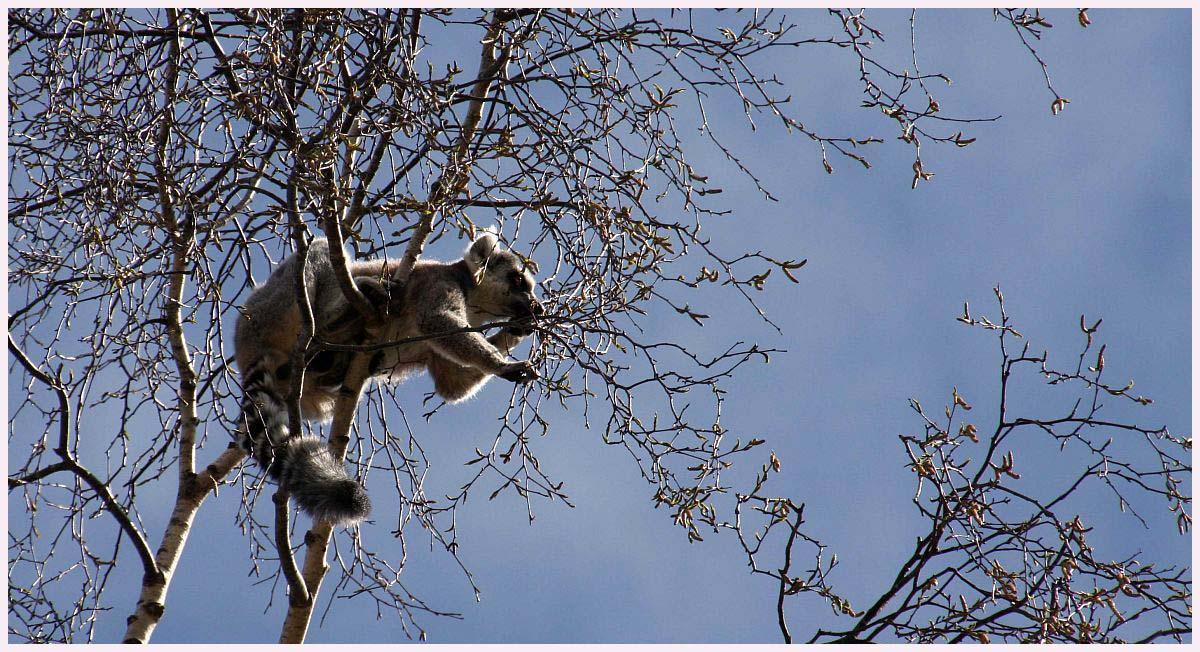 Kattas in the air