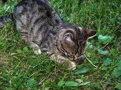 Katz frißt Maus