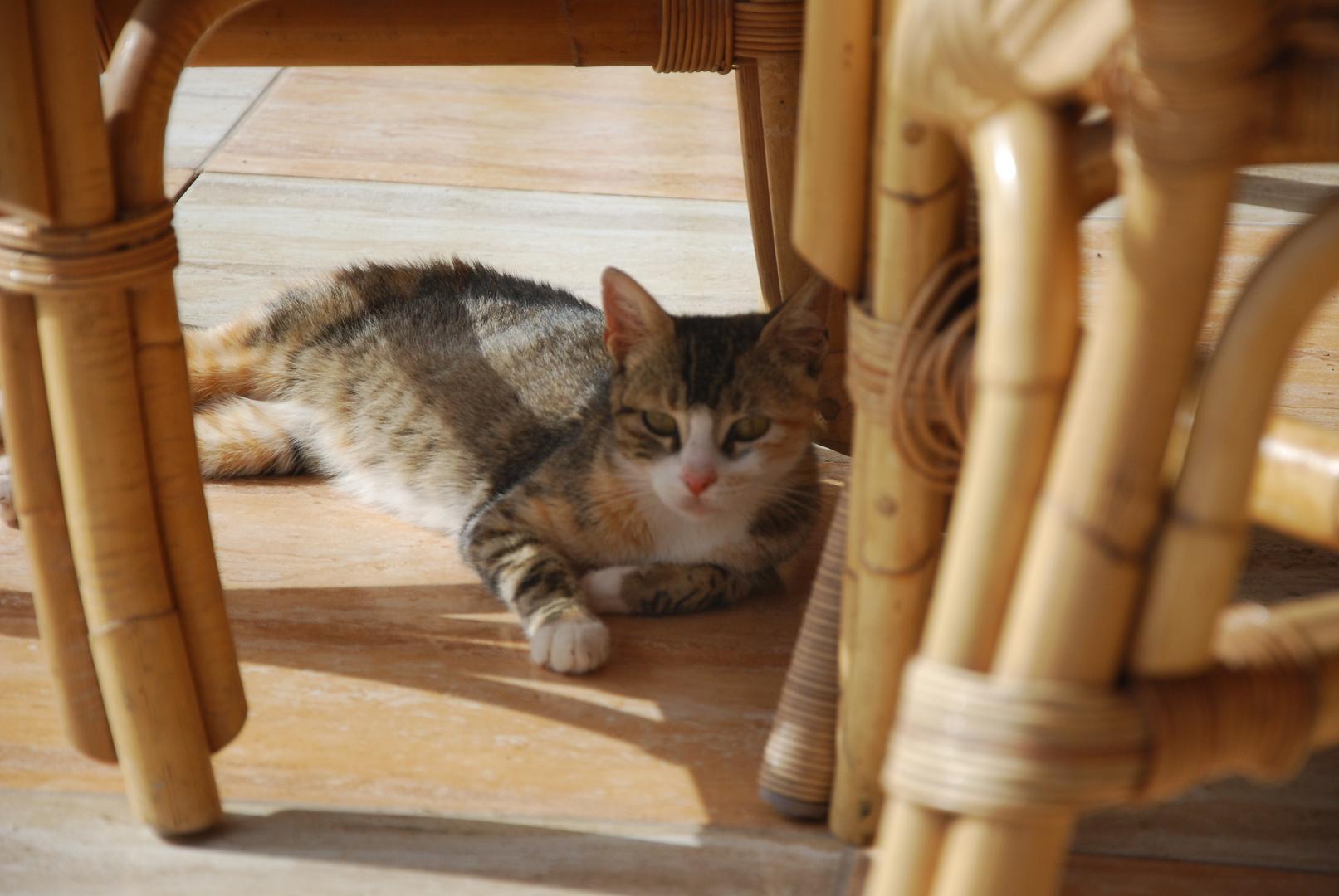 Katze auf Cabo Verde