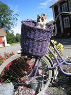 Katze auf dem Fahrrad