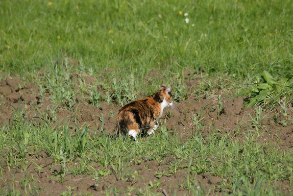 Katze auf dem Feld