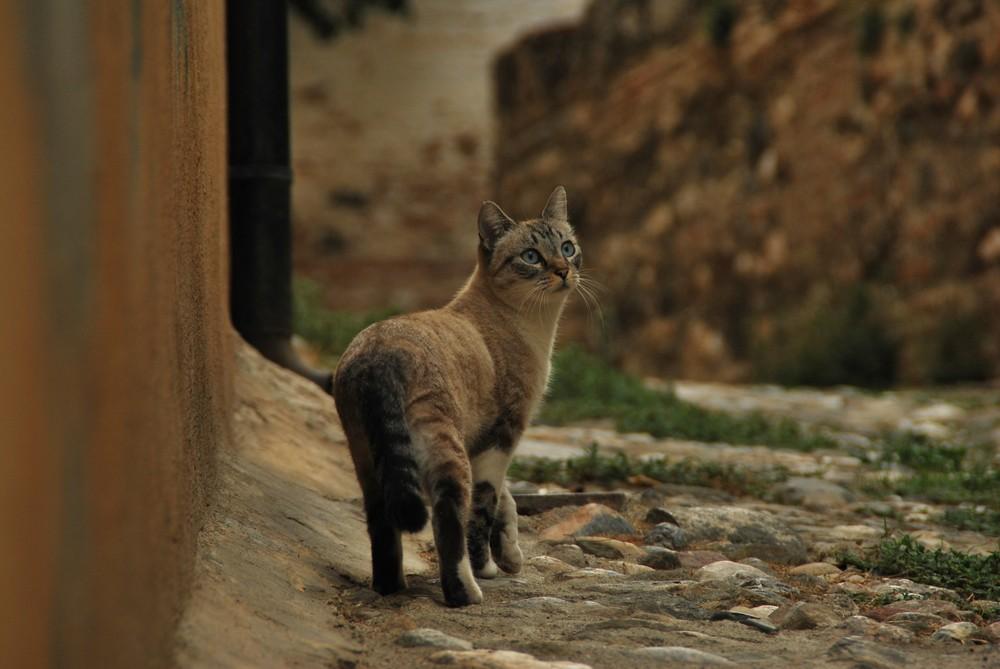 Katze aus Granada