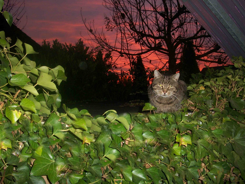 Katze bei Sonnenaufgang in Keitum