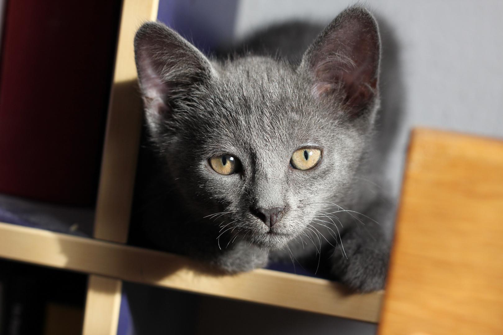 Katze Bluevelvet