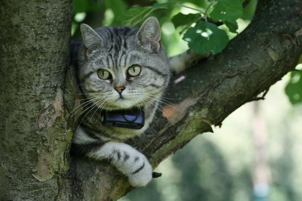 Katze Curly auf der Lauer