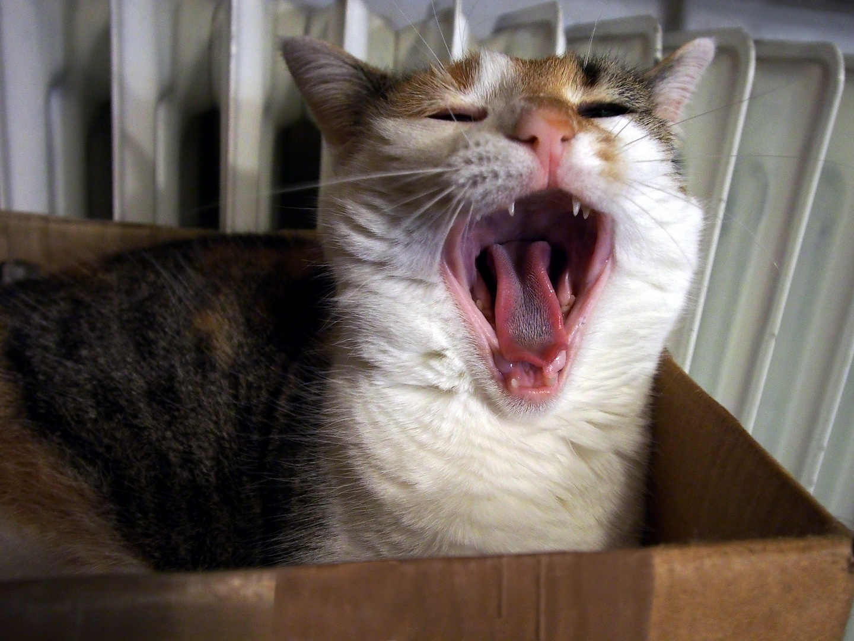 Katze gähnt
