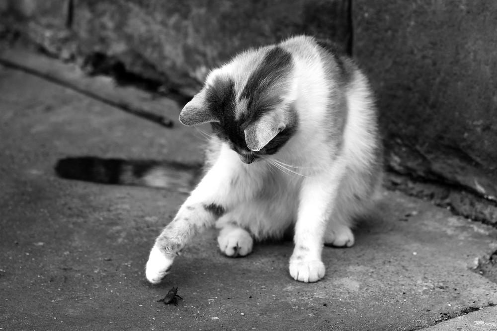 Katze gegen Käfer