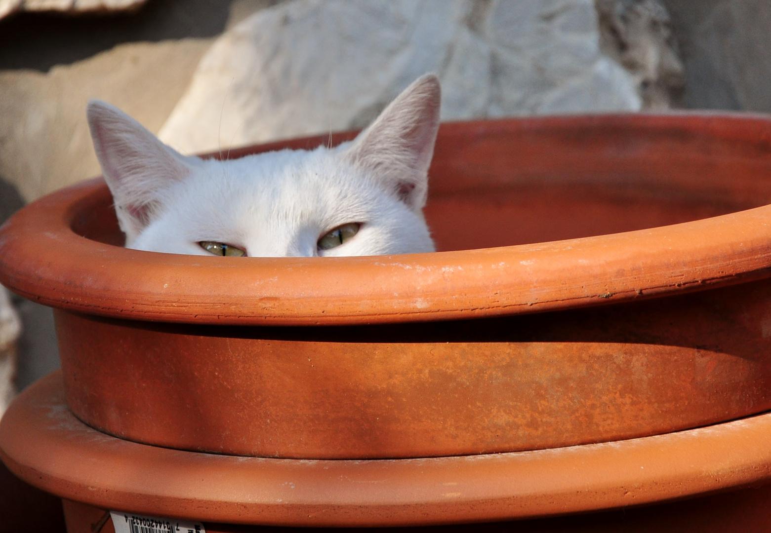 Katze im Topf