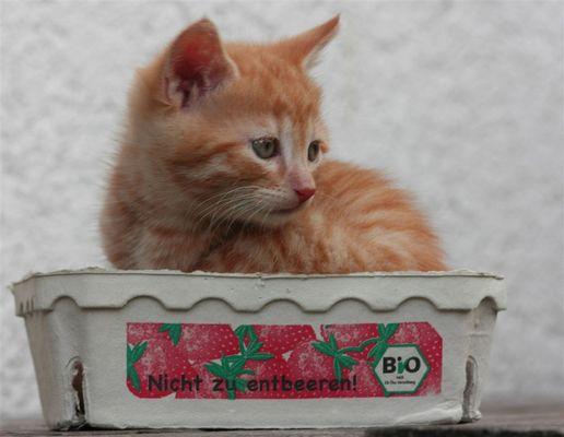 Katze in Erdbeerschachtel