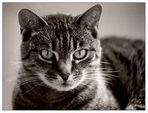 Katze in Sepia