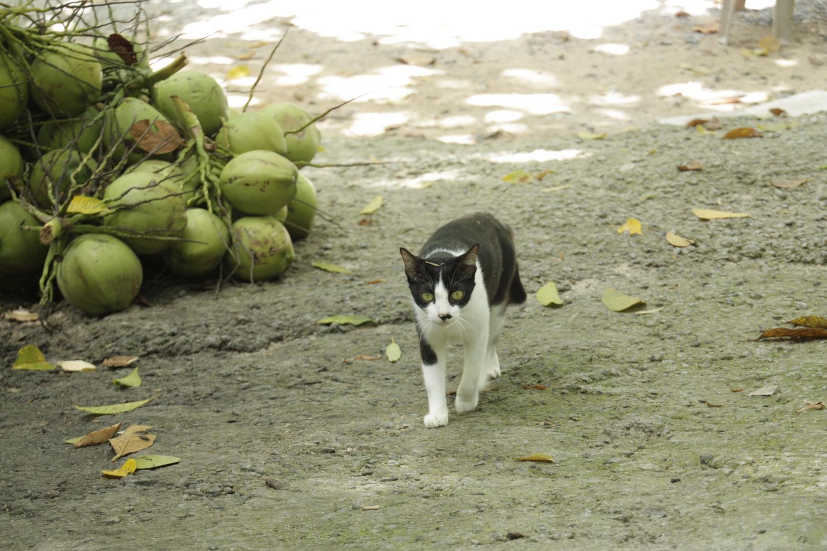 Katze in Thailand