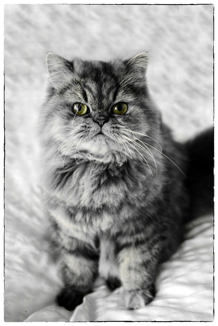 Katze Sarah - Perser