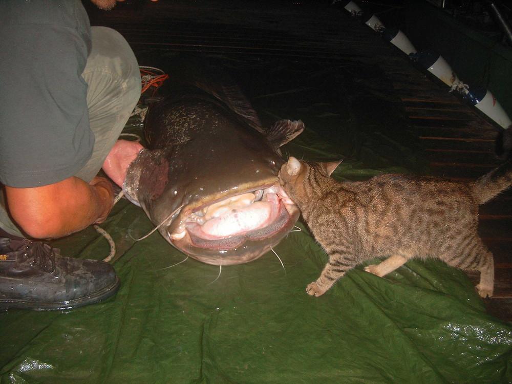 Katze vs. Riesenwels