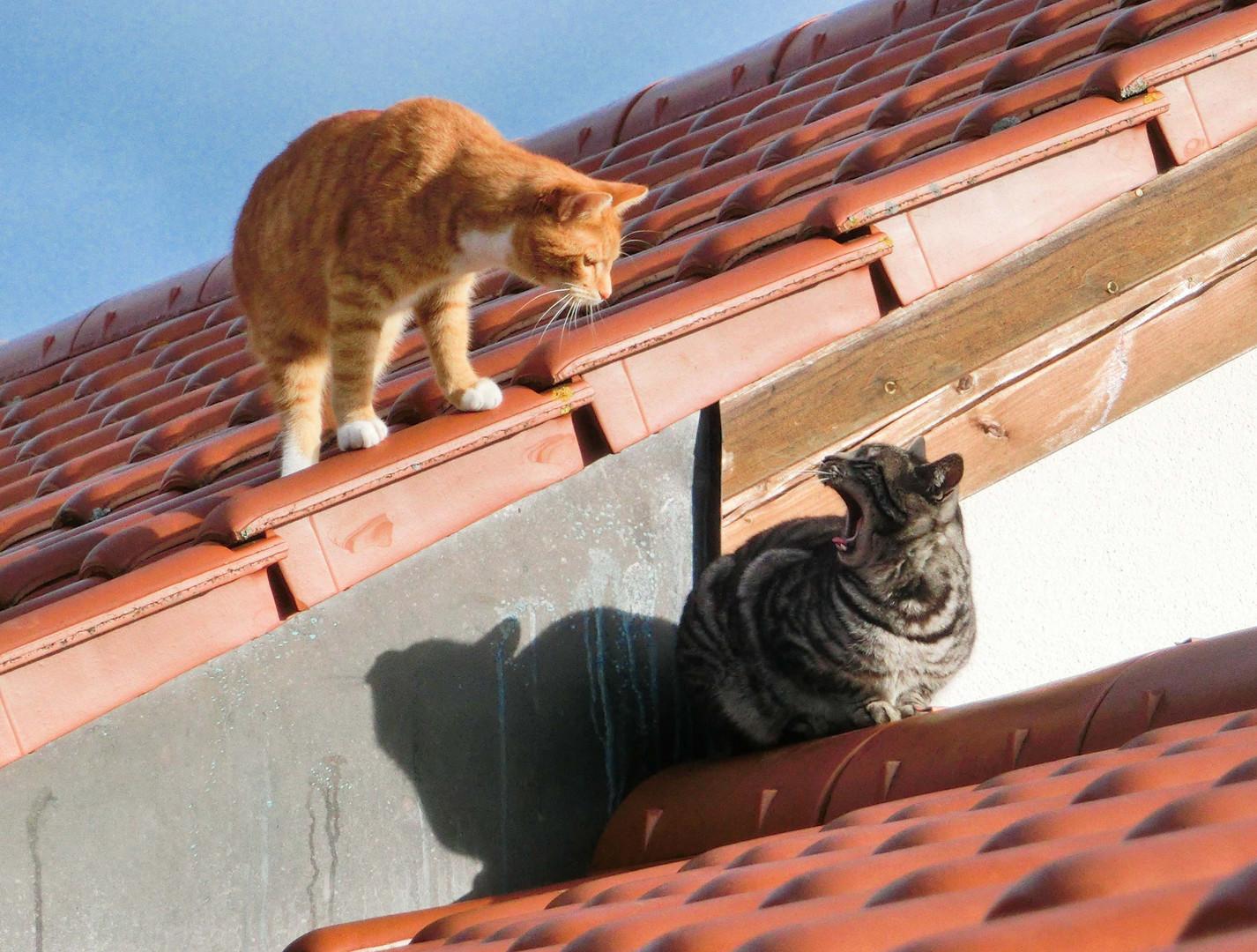 Katzen fauchen sich an