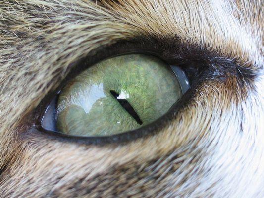 Katzenauge Makro
