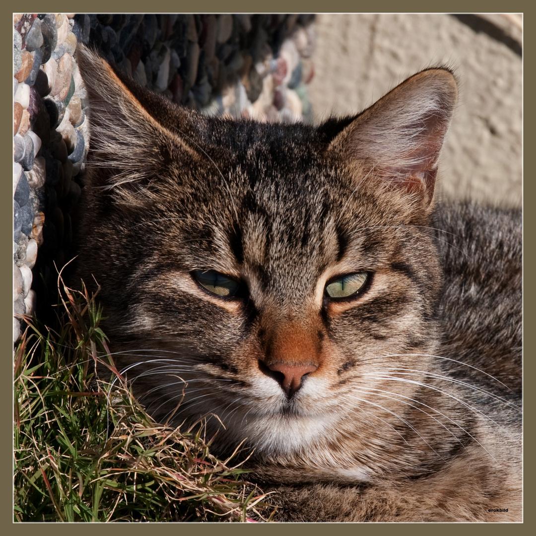 Katzenaugen_Blicke_grauer Tiger, beim Schlafen gestört