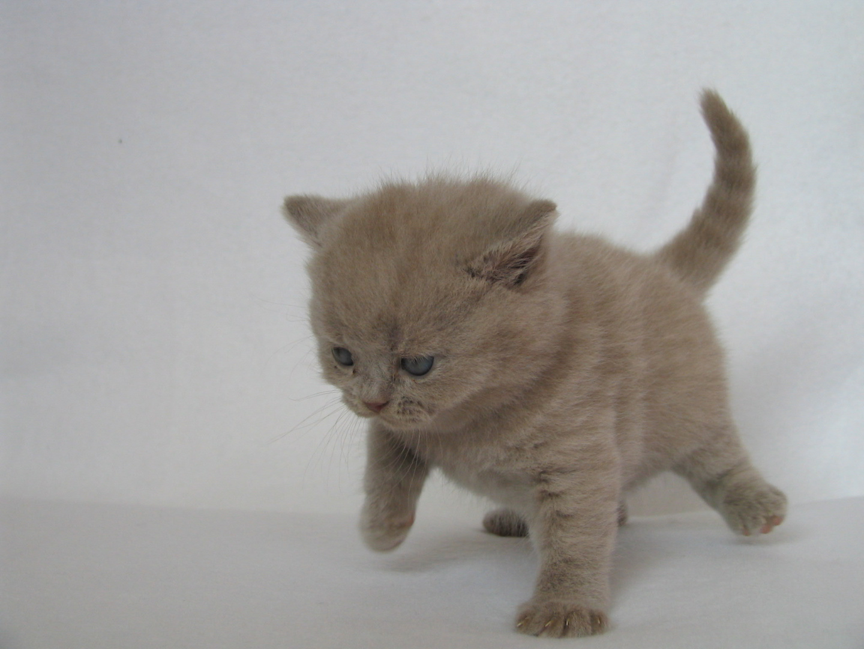 Katzenbaby, Britisch Kurzhaar