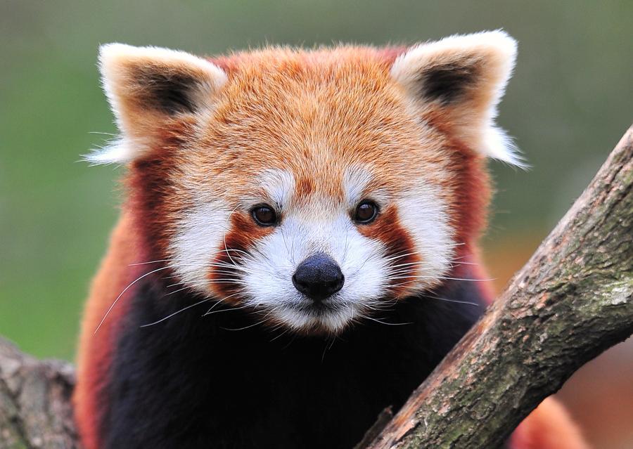 Katzenbär= kleiner Pandabär
