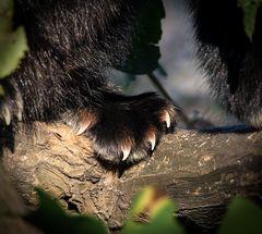 katzenbärenpfote
