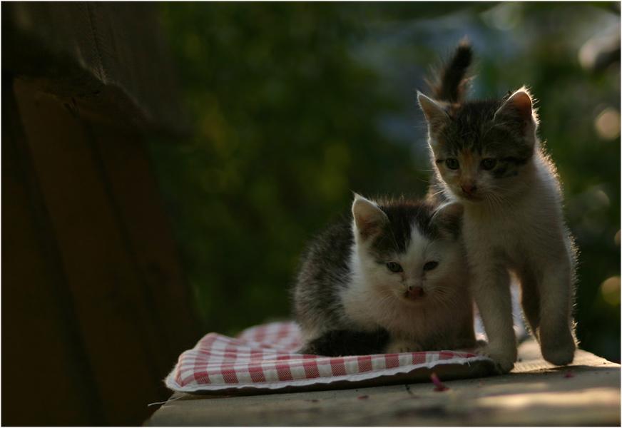 Katzenbrüder