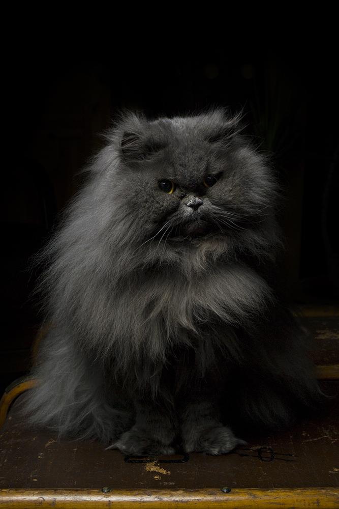Katzendame Curly
