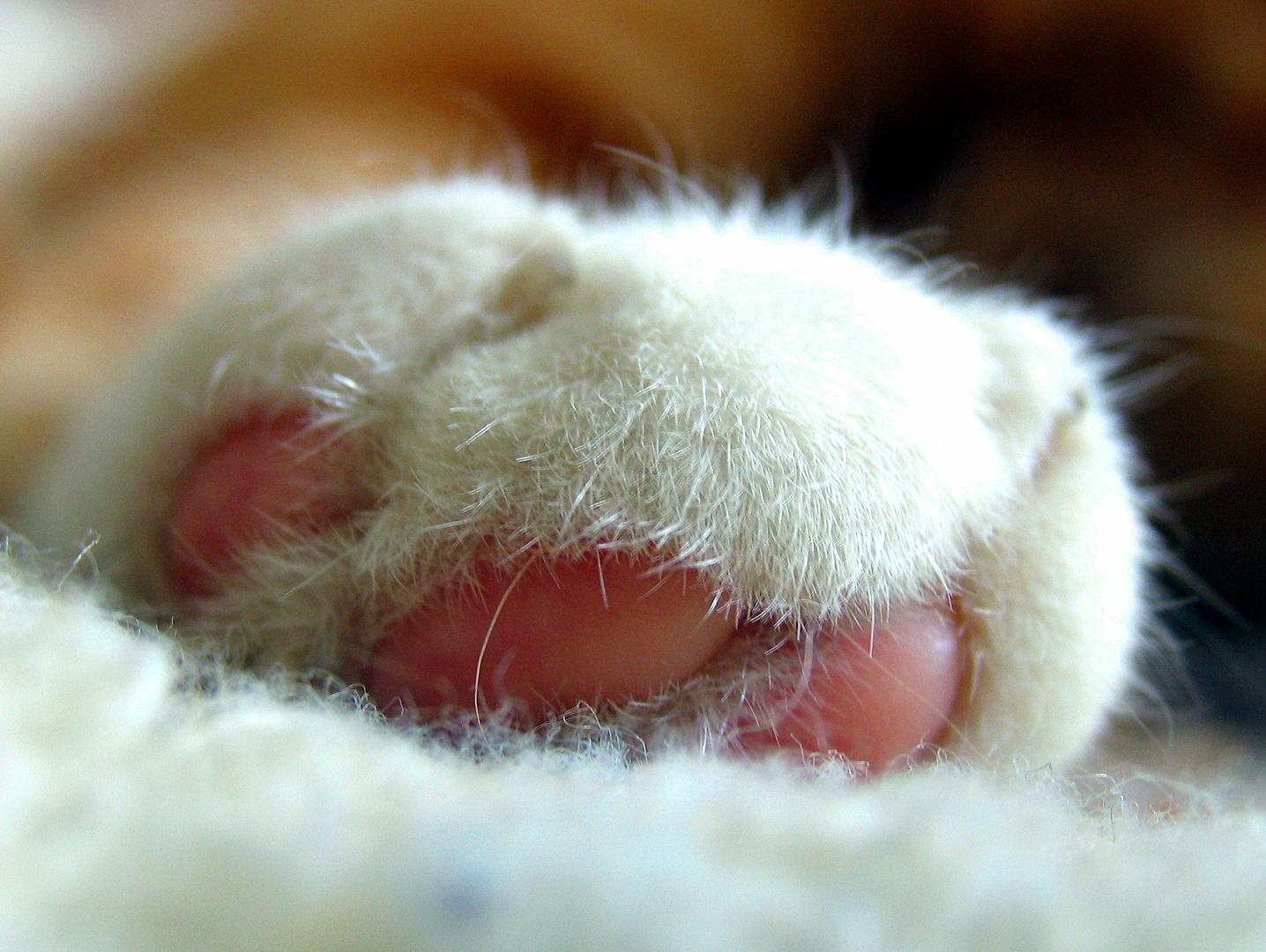 Katzenpfote