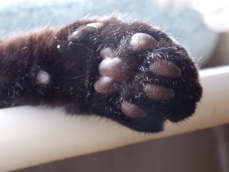 Katzenpfote von Nahem