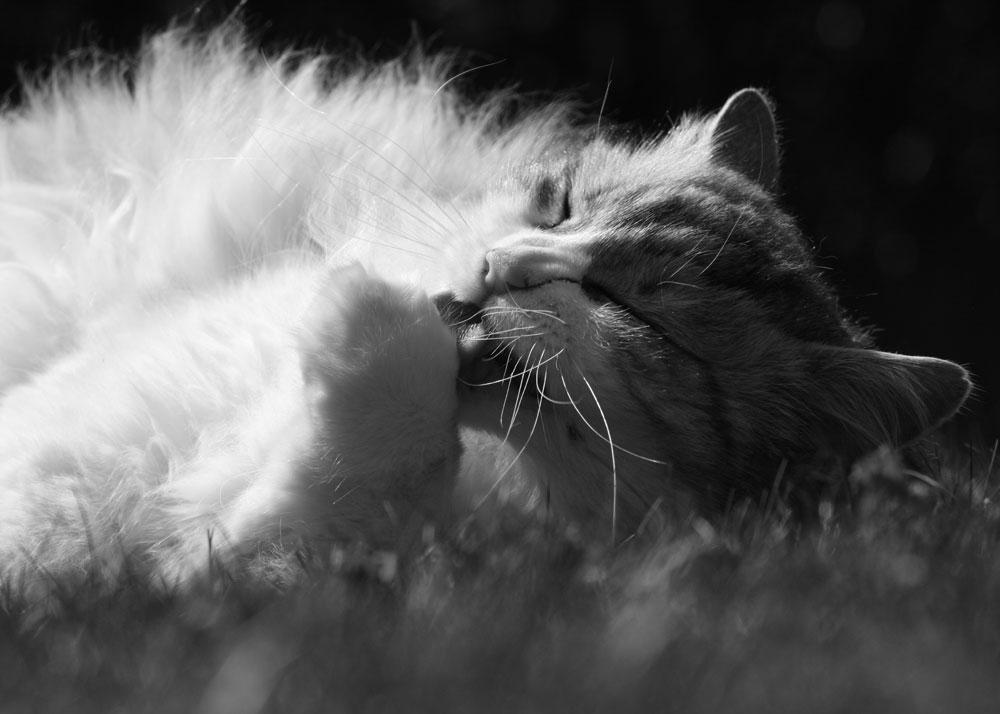 Katzenwäsche in schwarz/weiß