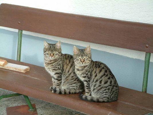 Katzenzwillinge