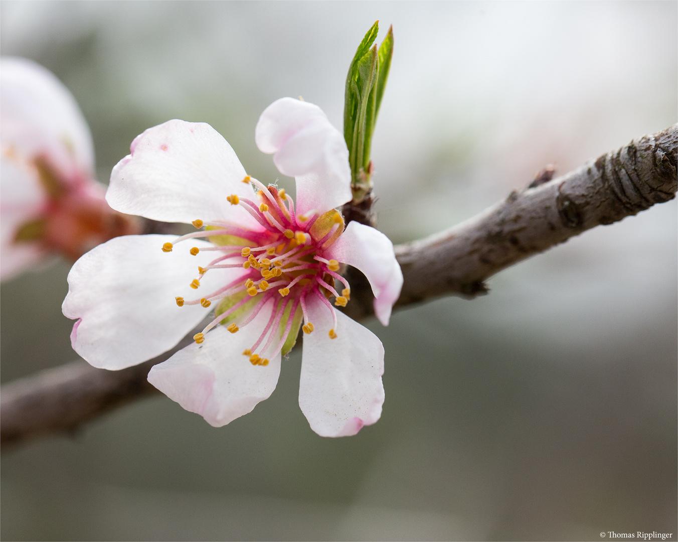 Kaukasische Mandel (Prunus fenzliana)
