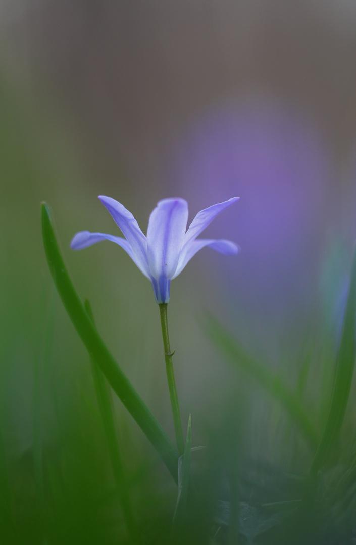 Kaukasisches Blausternchen