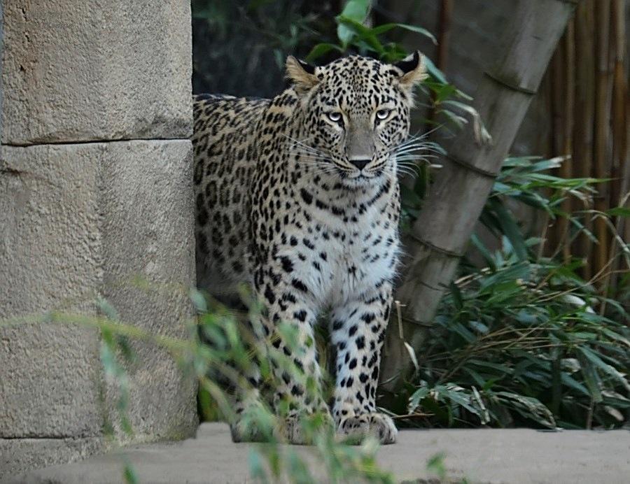 *Kaukasus - Leopard*