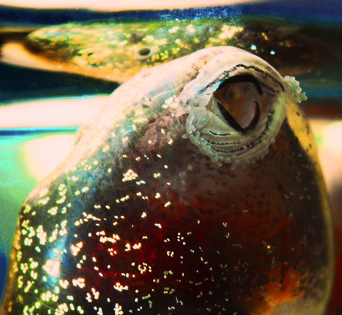 Kaulquappenmaul (Grasfrosch, rana temporaria)