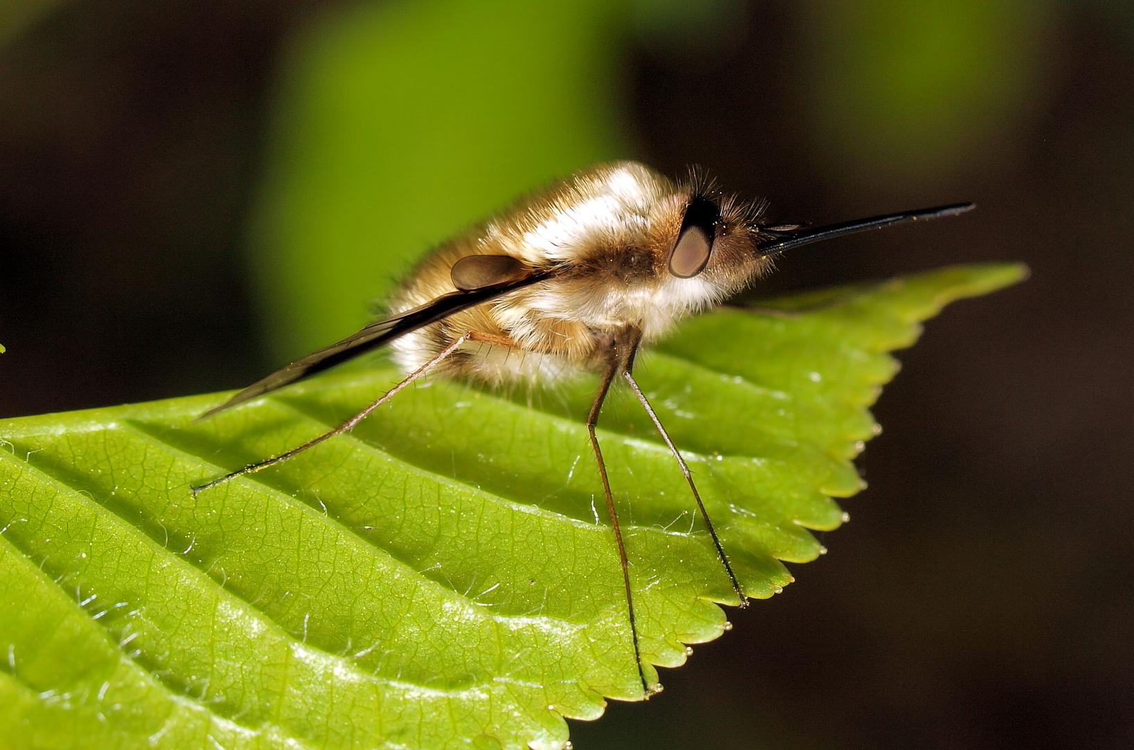 Kaum zu glauben das das eine Fliege ist....