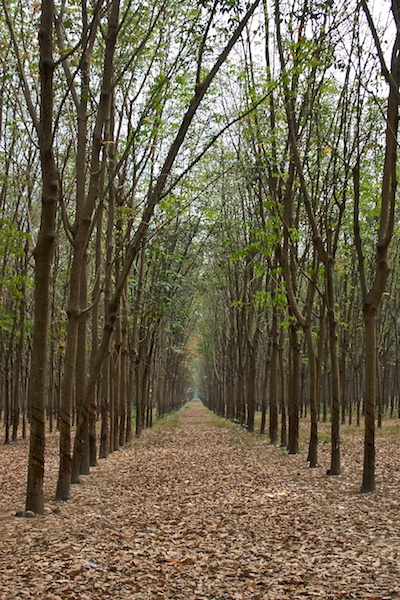 Kautschuk-Plantage in Vietnam