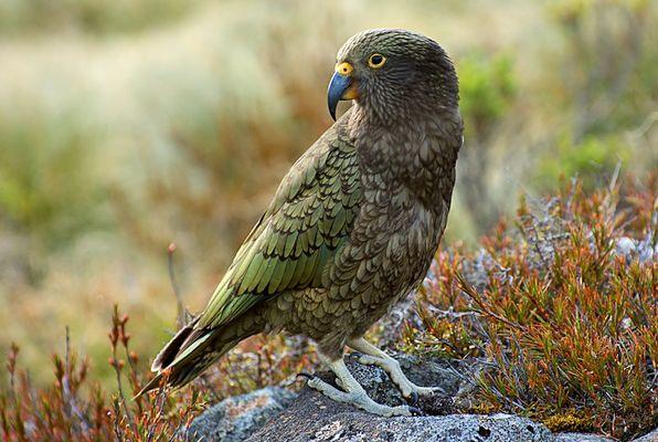 Kea - Bergpapagei Neuseelands