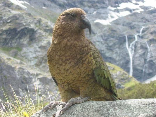 Kea Neuseelands Bergpapagei
