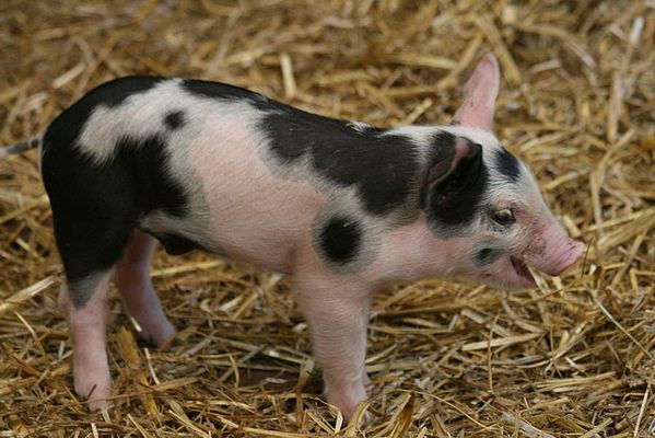 keep smiling - Glücks-Schweinchen