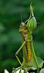 Kegelkopfschrecken (Pyrgomorphidae)